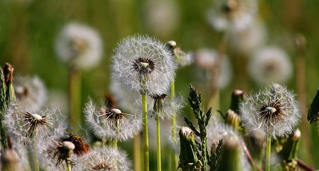 dandelions seed bank