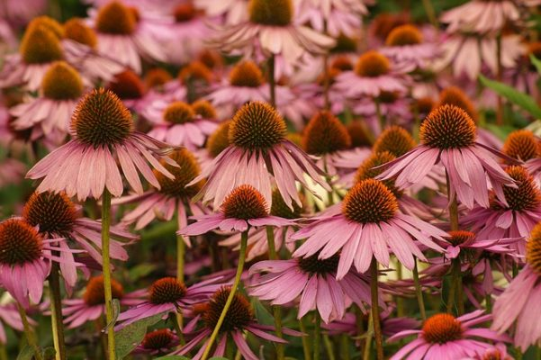 purple coneflower medicinal garden