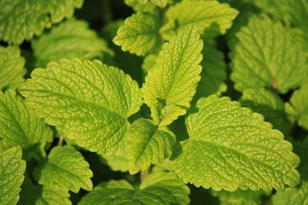 lemon balm medicinal medicine garden plant