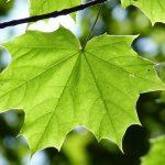 maple leaf palmate veins