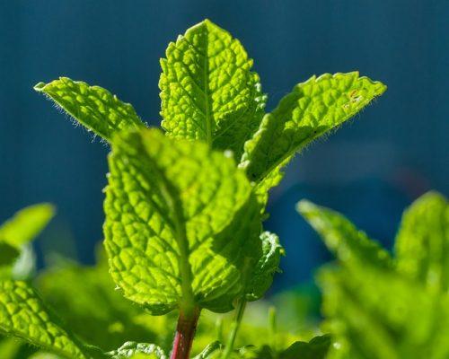 peppermint medicinal garden