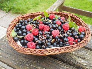 forage for wild berries