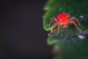 red spider mite garden pest