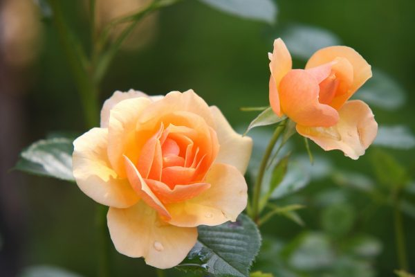 shazam for plants rose