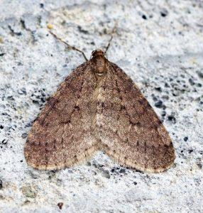 winter moth garden pest