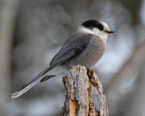 gray jay birdwatching camping activity