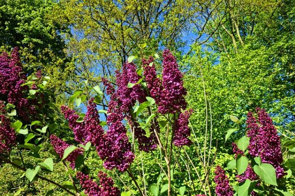 lilac shrub plant identification app