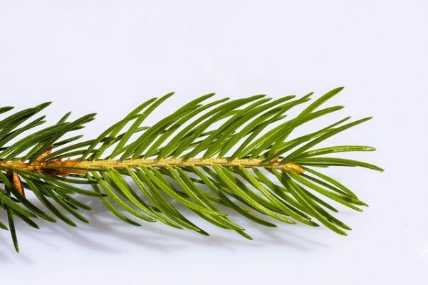 pine needle tree identification
