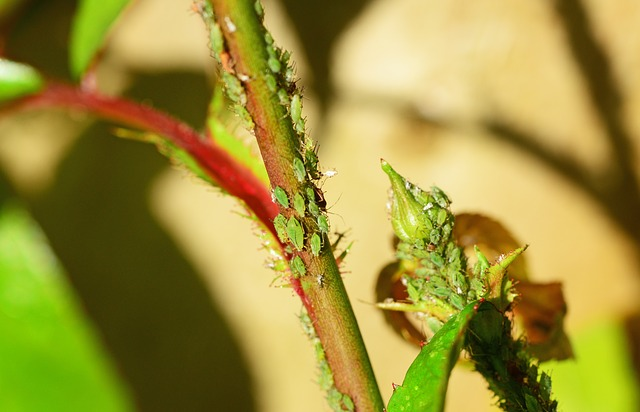 green aphids on plants