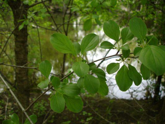 european buckthorn leaves