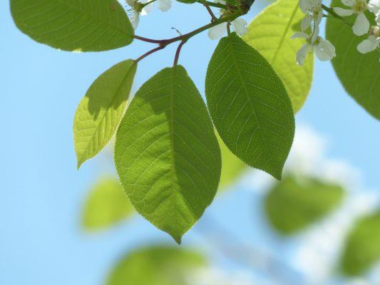 cherry leaves lookalike