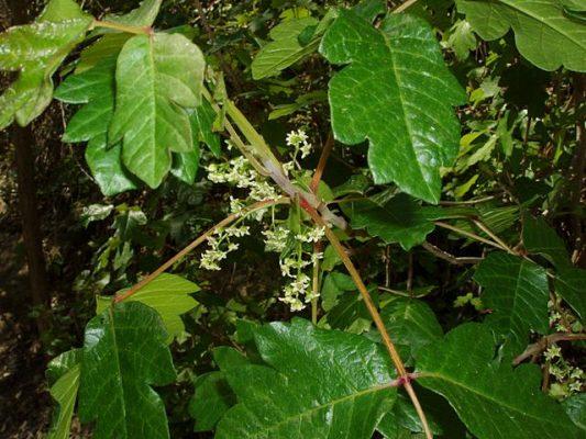 poison oak summer