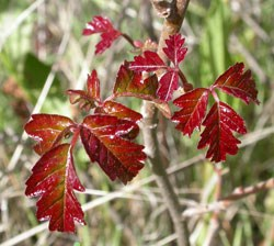 poison oak fall